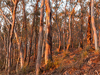 Dry eucalypt forests